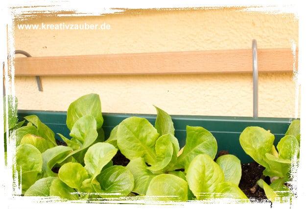 salat-pflanzen-ohne-schnecken