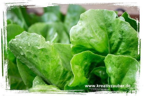 salat-pflanzen