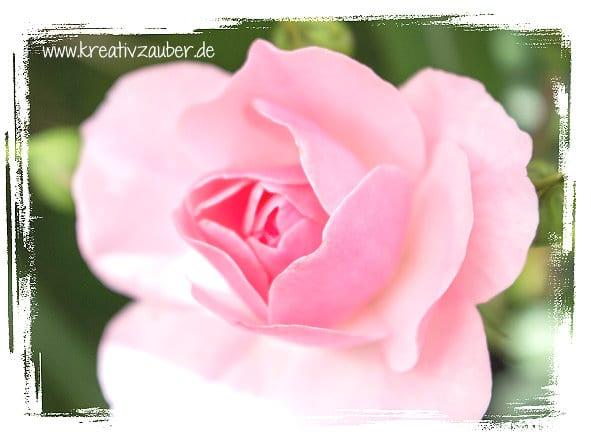 rosen-traum